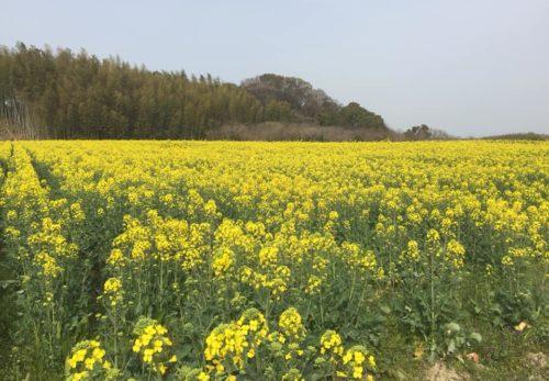 東浦の菜の花